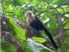 capuchin-white-faced-monkey