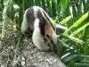 northern-tamandua-anteater