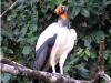 king-vulture