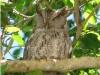 pacific-screech-owl